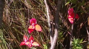 Table Mountain Red Disa