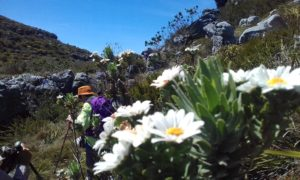 Table Mountain Bells Kruie