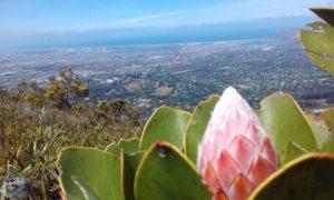 King Protea #BloomingView