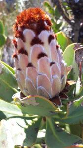 Protea Speciosa