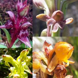 Orchids of Table Mountain