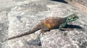 Blue headed rock agama lizard